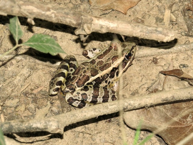 Well camouflaged Leopard Frog - good eye Evie!