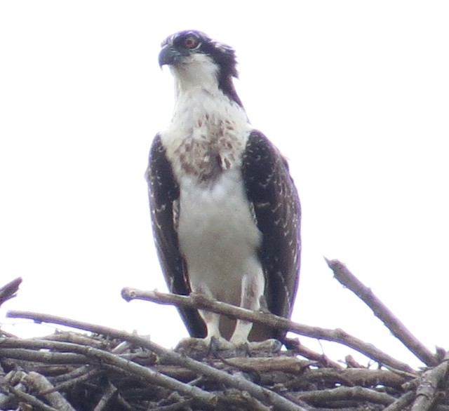 Osprey on nest in bad light. Hungry osprey too I'm thinking.