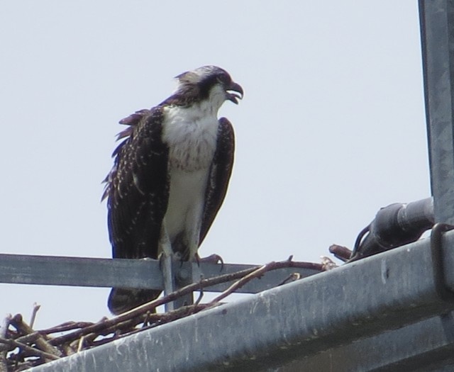Osprey on a tower - my first raptor for August