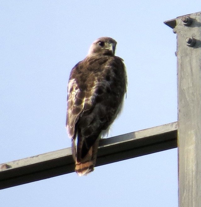 "I went to ""osprey country"" - and got a hawk instead!"