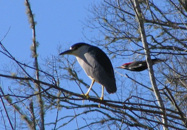 "Wikipedia image - of Black-crowned night heron and pileated woodpecker - in definition for ""serendipity."""