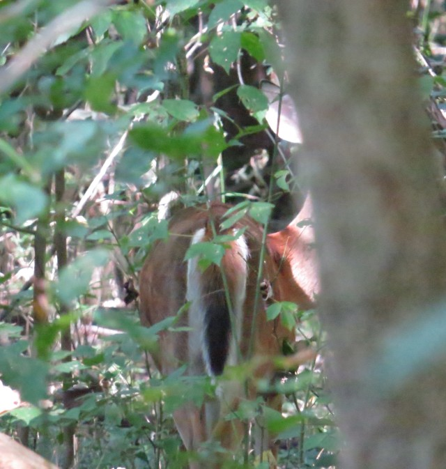 Deer blending into woods; see his tail, and see his ear sticking out just behind the tree trunk? Up high?