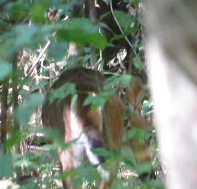 Same deer, only this time is head's down, he's eating something on the ground - you can see his eye and nose down low.
