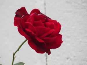 Late September rose