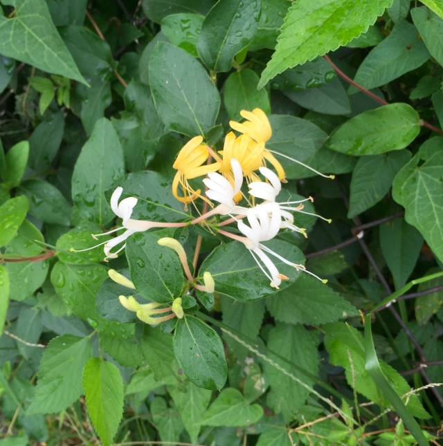 Delightfully summery honeysuckle - on the final Saturday in September!