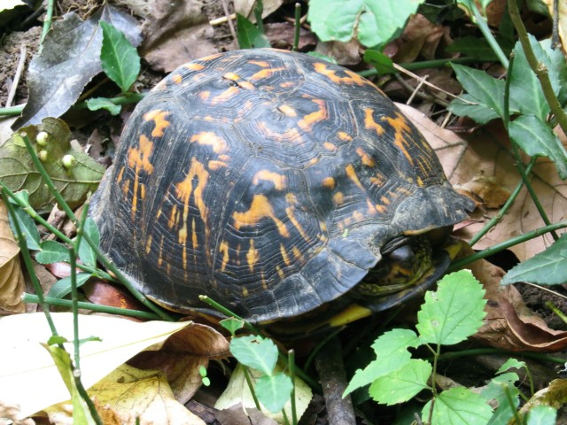 Eastern Box Turtle - don't his shell markings look like raccoon tracks?