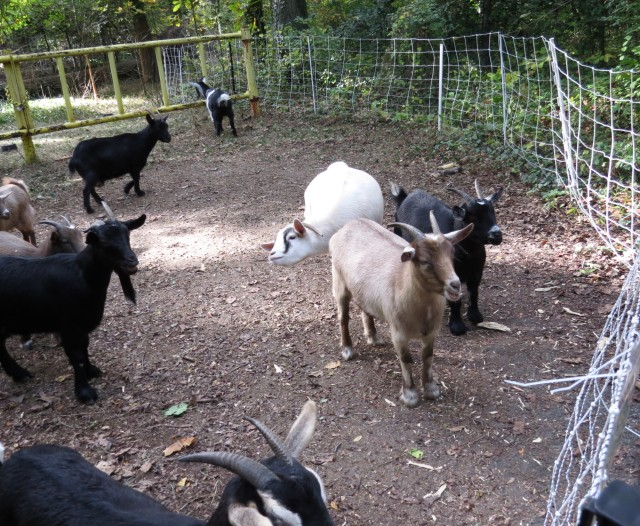 Goats - get rid of invasives, get back fertilizer, milk and cheese. What could be more ecologically friendly?