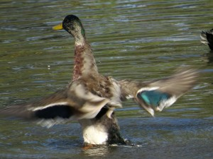 Male mallard flailing around