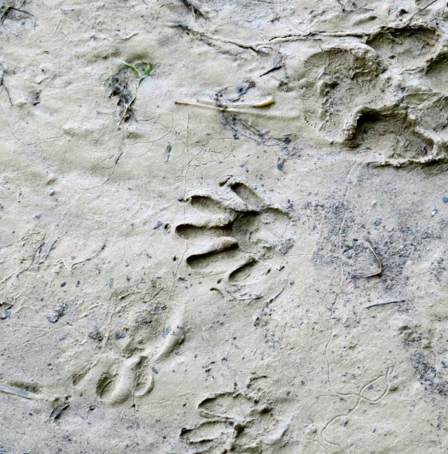 Raccoon track in the center of the picture
