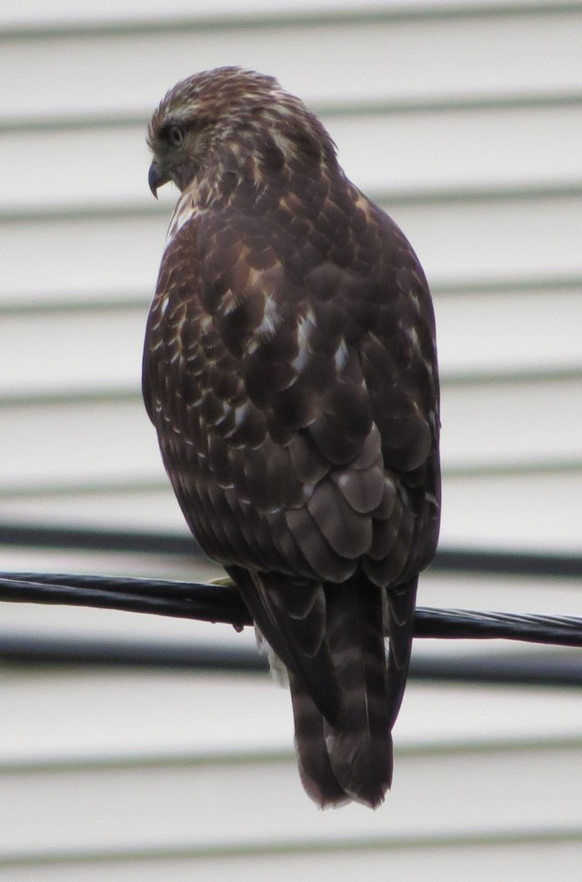 Young Red-tail almost within sight of my house