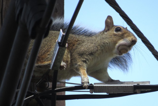 This squirrel was making an incredible amount of noise - even with this giant acorn in its mouth.