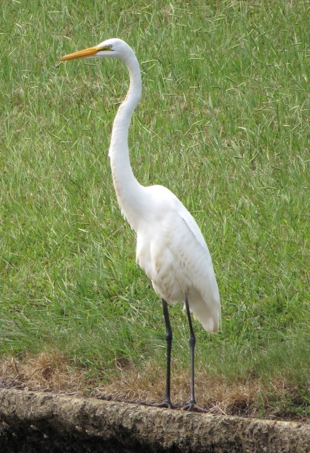 Great egret; (Ardea alba)