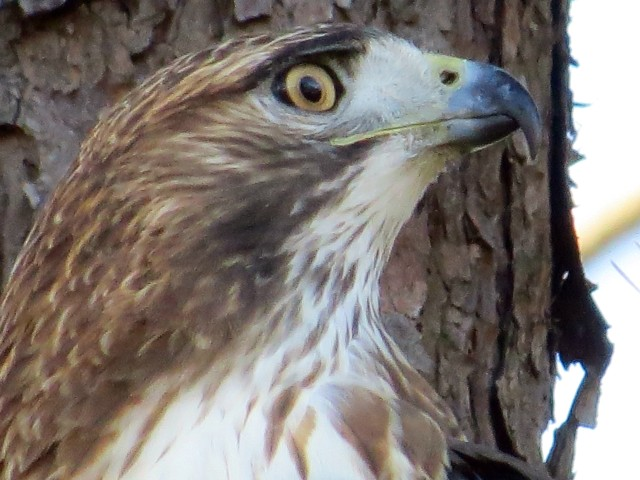 It's a difficult look to interpret. It may be arrogant. Or confident. Or raptors don't have emotions - who am I to say.
