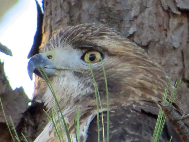 It's hard to look away from a hawk's eyes