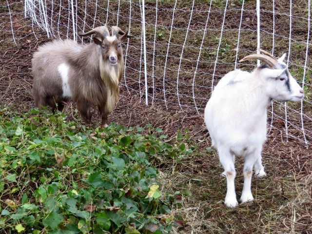 """Billy"" is darker; ""Beacon"" is the mostly white goat."