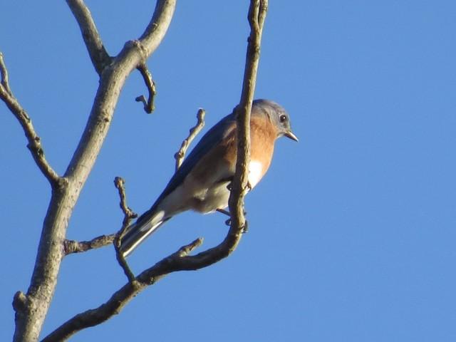 Bluebird / Bluesky