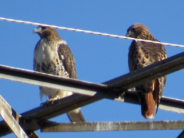 Pair of Red-tails in Bon Air, female on the left