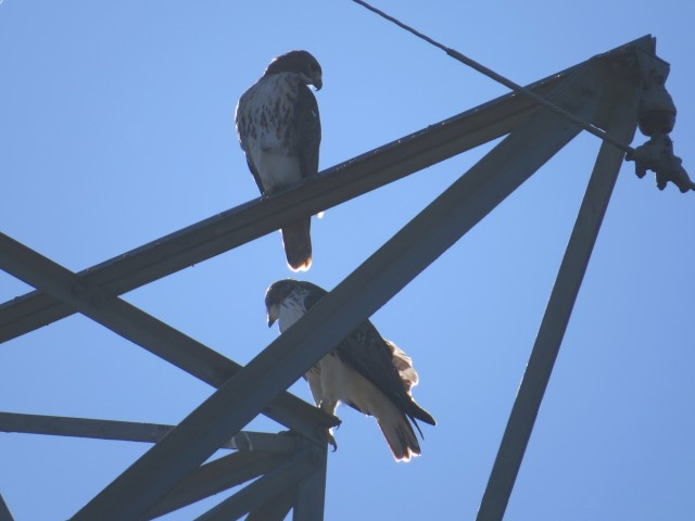 Male and female Red-tails near the house Tuesday morning