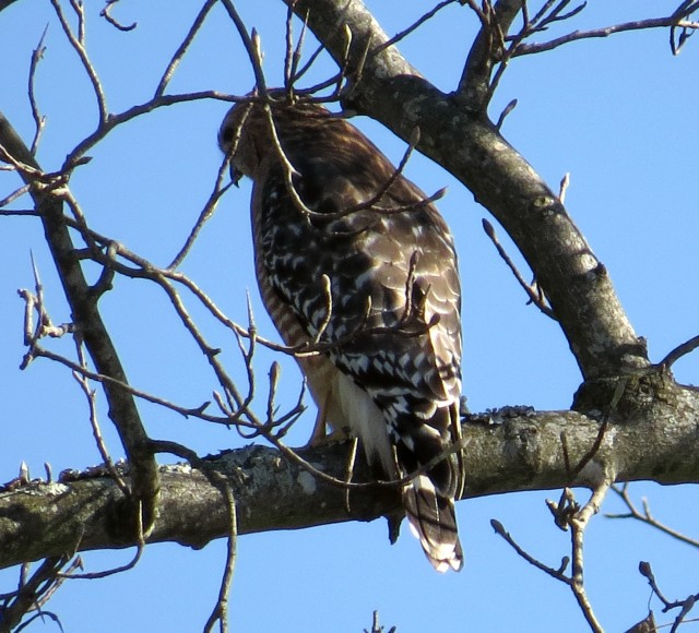 Red-shouldered hawk above a shopping center parking lot