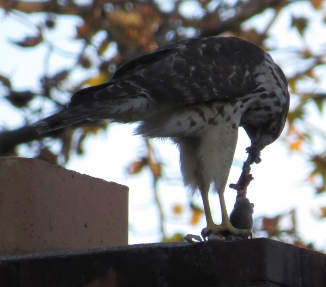 Neighborhood Red-tail, consuming a fresh caught mouse on Thanksgiving Day