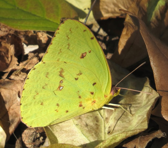 Cloudless sulphur (Phoebis sennae)