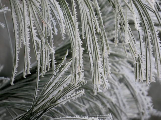 Frozen fog on pine needles