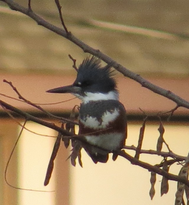 Female Kingfisher at Bryan Park