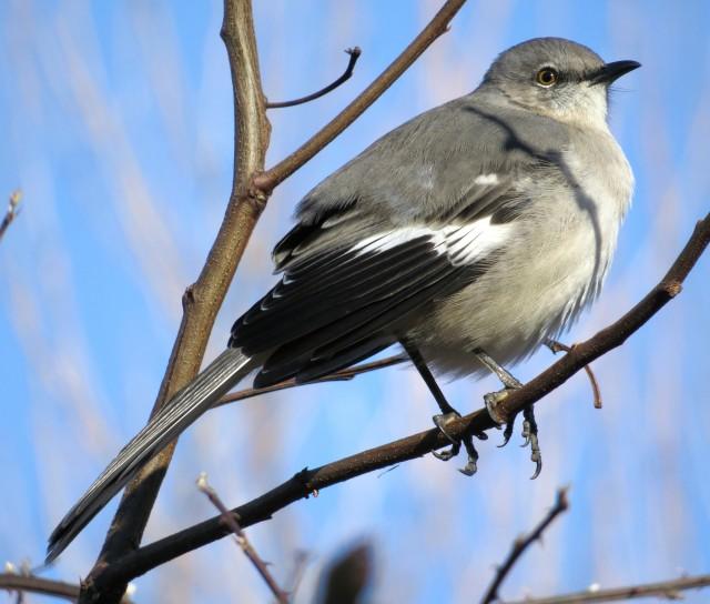 Mockingbird on a winter morning in Blacksburg