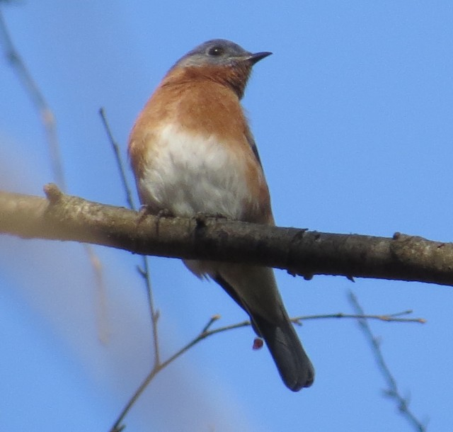 December bluebird at Pony Pasture