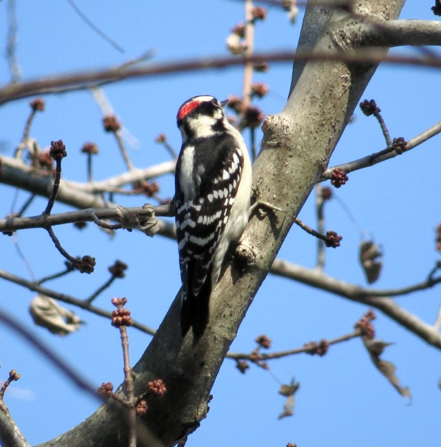 Male downy woodpecker at Pony Pasture