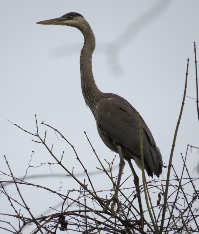 Great blue heron HIGH in a tree at Pony Pasture