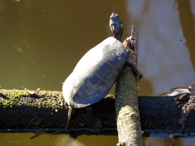 Mid-December turtle - crazy.