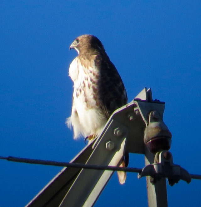 Female Red-tailed hawk with conspicuously bulging crop