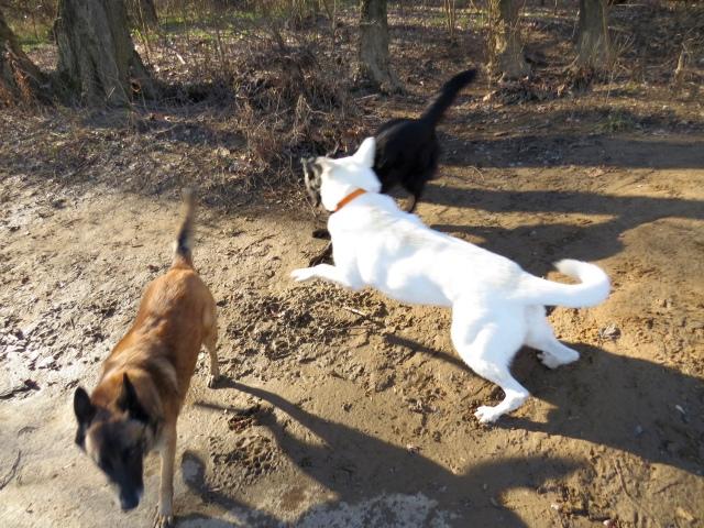 Yuki (white) and Mackey cavorting, Turner heads for the water's edge.