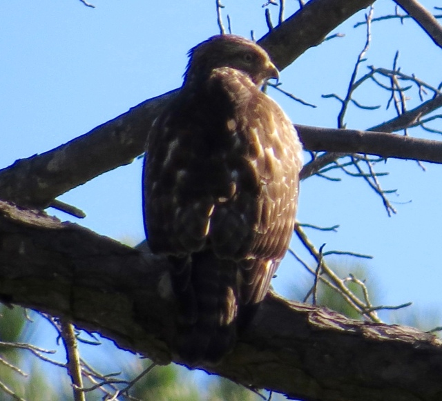 Neighborhood Red-tail on a new perch: