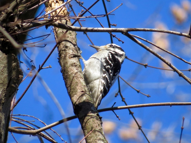Black and white Downy Woodpecker against a blue, blue January sky
