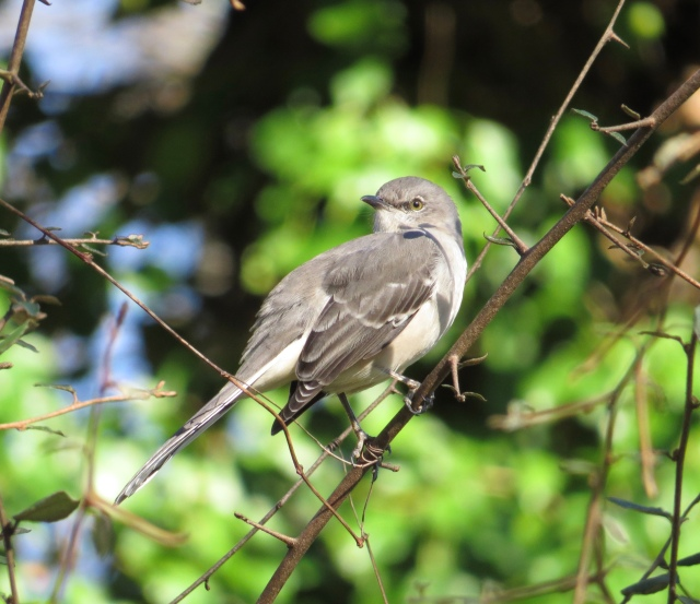 Mockingbird in the sun
