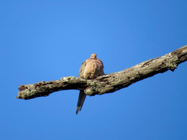 Puffy dove