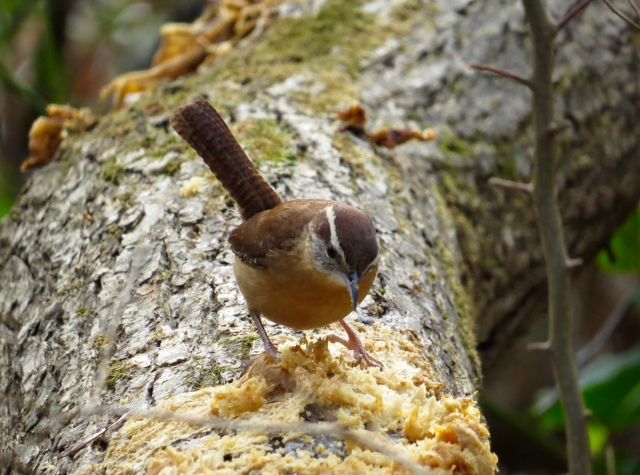Carolina Wren. They only ever look cute - it's their default setting. But they don't hold back when they're scolding.