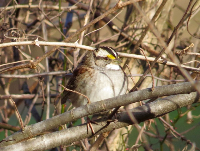 White-throated sparrow at Bryan Park
