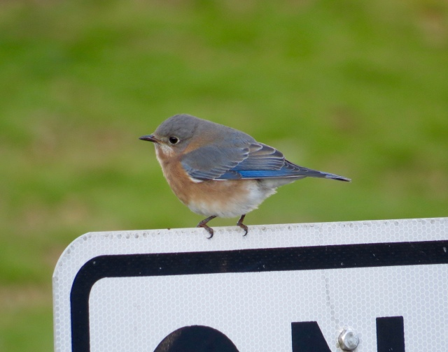 Eastern bluebird at guess-where