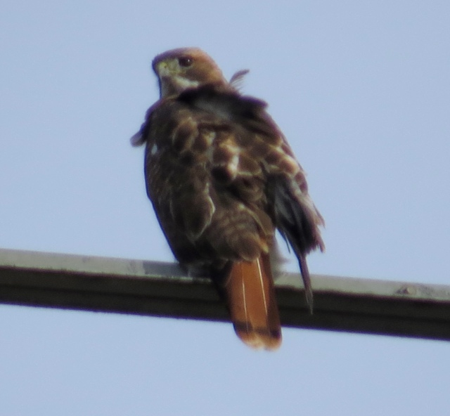 Red-tail, with a couple of feathers out of place