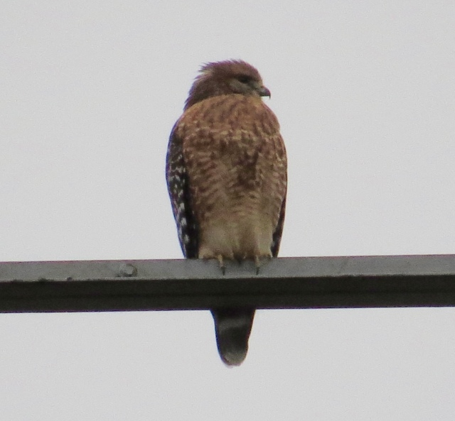 Red-shouldered hawk, in Red-tail territory