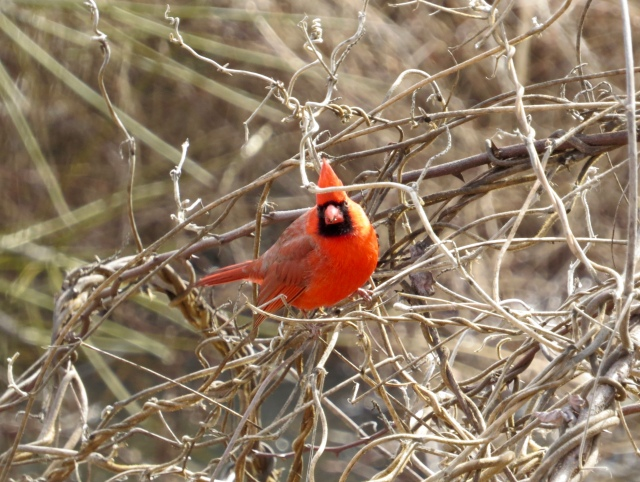 Our state bird, the Northern Cardinal, looking like he's lit from within