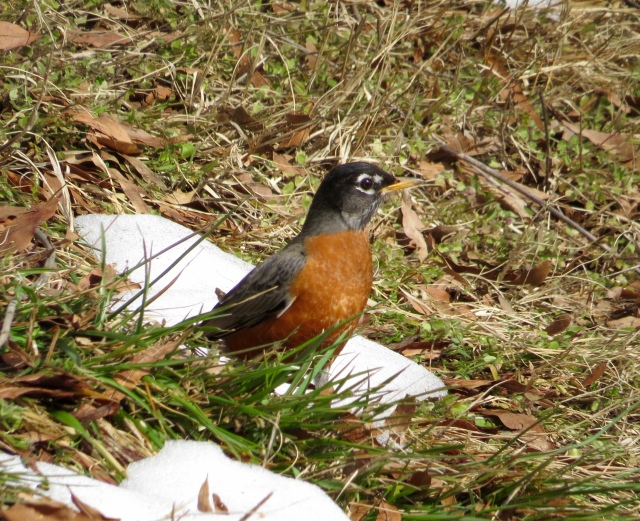 Some robins don't wait for the snow to go away.