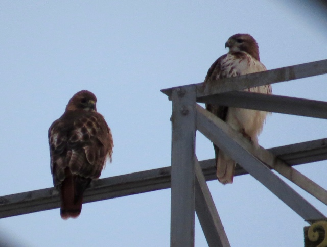 A pair of Red-tails waiting for an unwary squirrel.