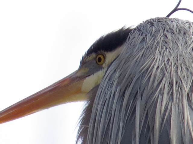 "This is a heron thinking ""I'm glad dogs can't climb trees."""