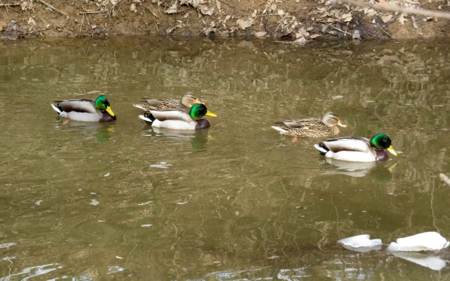 Mallards are flocking up on the creeks at Pony Pasture.