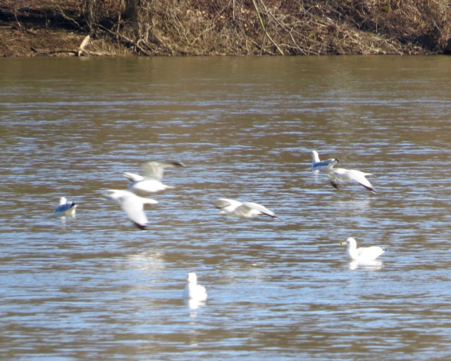 Seagulls (mostly Ring-billed) on the James River at Pony Pasture.