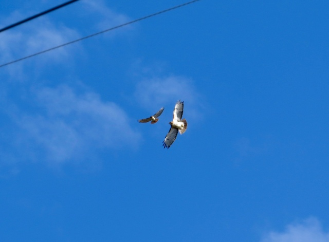 Pair of flying Red-tails - I saw four at the same time!